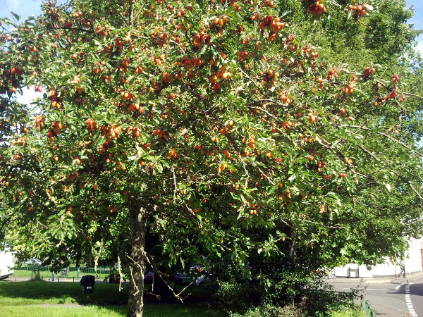 Bannerman Road's crab apple tree bearing fruit in autumn 2017