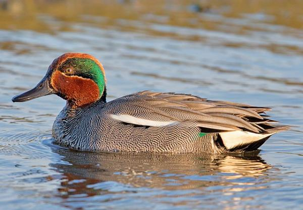 Male Eurasian teal
