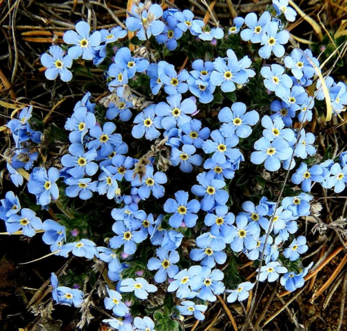 Photo of forget-me-nots